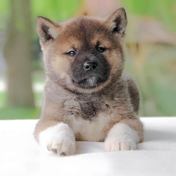 foto cuccioli akita