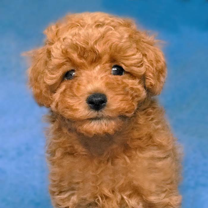 foto cuccioli barboncino