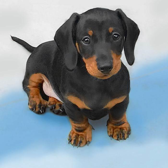 foto cuccioli bassotto