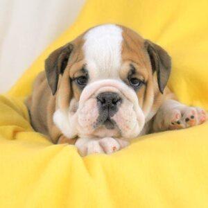 foto cuccioli bulldog inglese