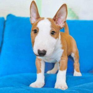 foto cuccioli bull terrier