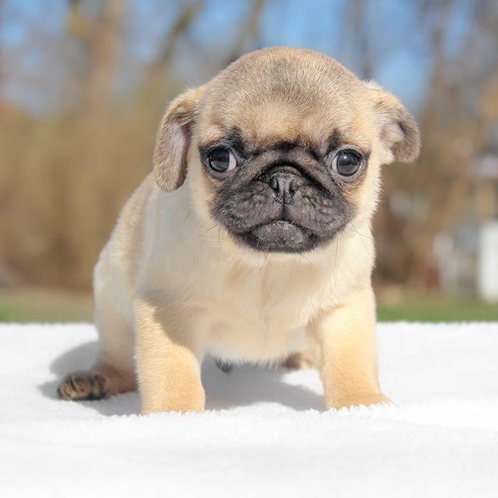 foto cuccioli carlino