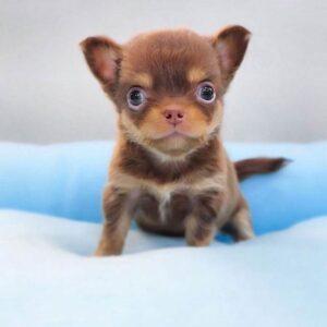 foto cuccioli chihuahua