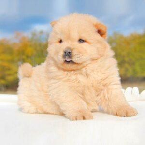 foto cuccioli chow chow