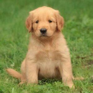 foto cuccioli golden retriever