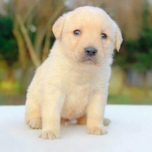 foto cuccioli labrador