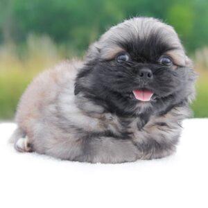 foto cuccioli pechinese