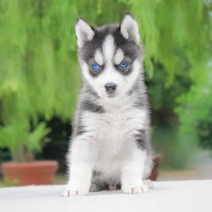 foto cuccioli siberian husky