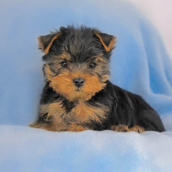 foto cuccioli yorkshire